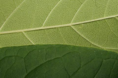 Image http://bioimages.vanderbilt.edu/lq/baskauf/wchvi3-lfmargin-uplow49628.jpg