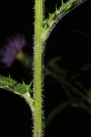 Image http://bioimages.vanderbilt.edu/lq/baskauf/wcial2-st38113.jpg