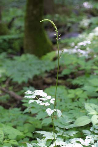 Image http://bioimages.vanderbilt.edu/lq/baskauf/wcira--fldevel-inflor26390.jpg