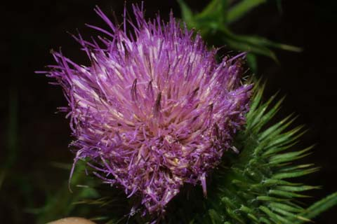 Image http://bioimages.vanderbilt.edu/lq/baskauf/wcivu--fltop27046.jpg