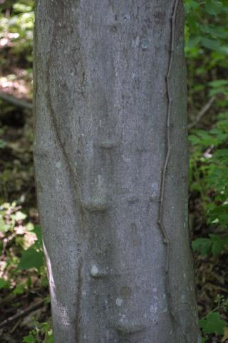 Image http://bioimages.vanderbilt.edu/gq/baskauf/gclke--br11033.jpg