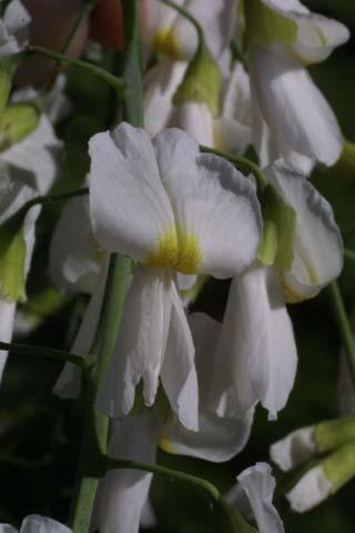 Image http://bioimages.vanderbilt.edu/lq/baskauf/wclke--flclose21563.jpg