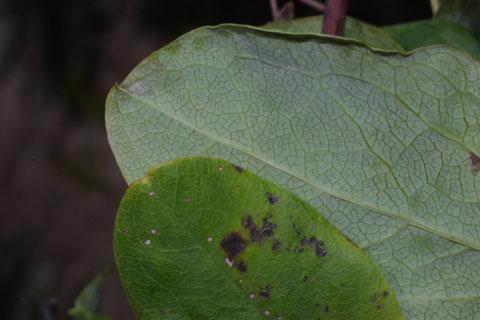 Image http://bioimages.vanderbilt.edu/lq/baskauf/wclve--lfmargin-uplow36620.jpg