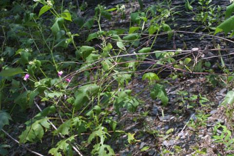 Image http://bioimages.vanderbilt.edu/lq/baskauf/wclve--wp36613.jpg
