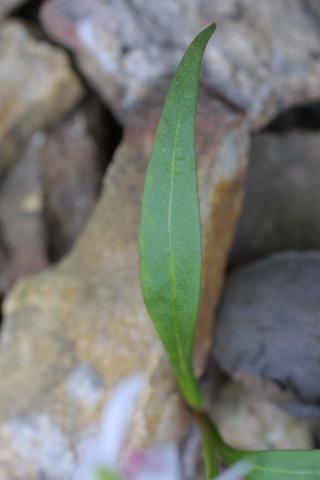 Image http://bioimages.vanderbilt.edu/gq/baskauf/gclvi3-lf17862.jpg