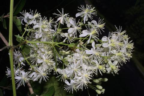 Image http://bioimages.vanderbilt.edu/lq/baskauf/wclvi5-flinflor36452.jpg
