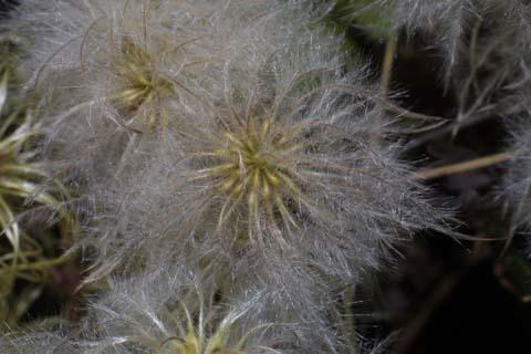 Image http://bioimages.vanderbilt.edu/lq/baskauf/wclvi5-fr30108.jpg