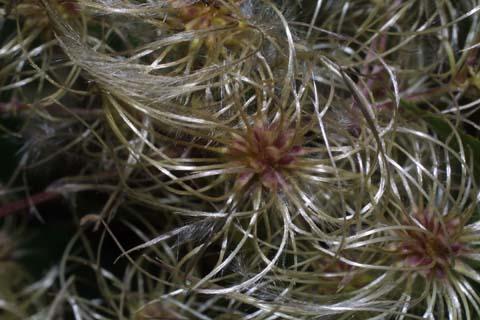 Image http://bioimages.vanderbilt.edu/lq/baskauf/wclvi5-fr30111.jpg