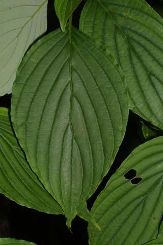 Image http://bioimages.vanderbilt.edu/lq/baskauf/wcoal2-lf26452.jpg