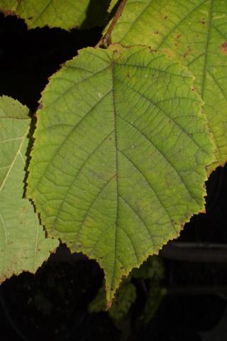 Image http://bioimages.vanderbilt.edu/lq/baskauf/wcoam3-lf38769.jpg