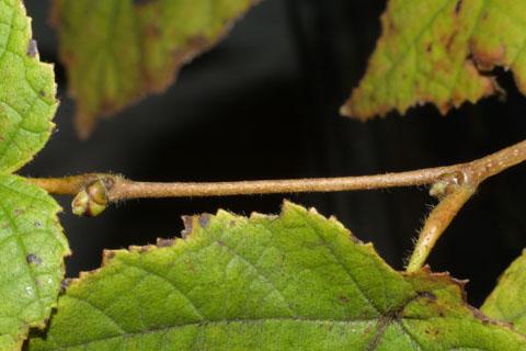 Image http://bioimages.vanderbilt.edu/lq/baskauf/wcoam3-tw38772.jpg