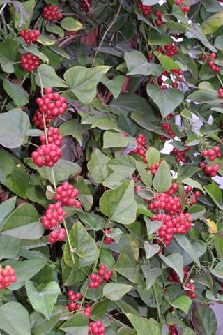 Image http://bioimages.vanderbilt.edu/lq/baskauf/wcoca--frdistant38655.jpg