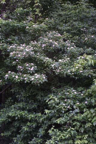 Image http://bioimages.vanderbilt.edu/lq/baskauf/wcodr--wpin-flower26030.jpg
