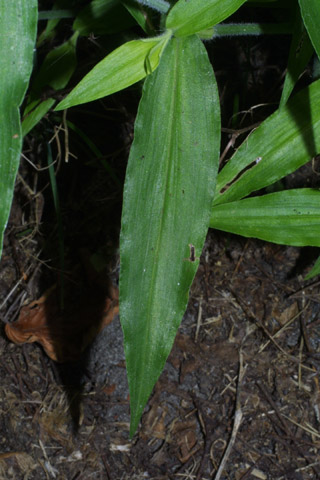 Image http://bioimages.vanderbilt.edu/lq/baskauf/wcoer--lf27729.jpg