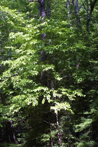 Image http://bioimages.vanderbilt.edu/lq/baskauf/wcofl2-wpsmall11612.jpg