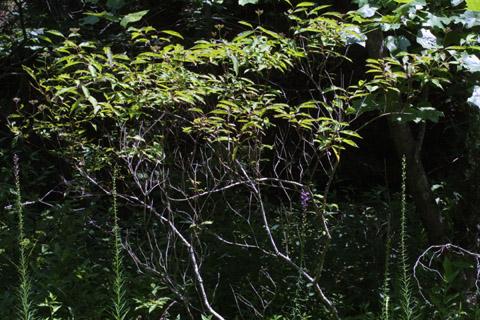 Image http://bioimages.vanderbilt.edu/lq/baskauf/wcofo--wp36190.jpg