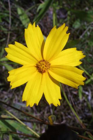 Image http://bioimages.vanderbilt.edu/lq/baskauf/wcola5-flfront27592.jpg