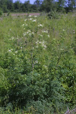 Image http://bioimages.vanderbilt.edu/lq/baskauf/wcoma2-wp24135.jpg