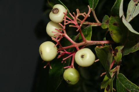 Image http://bioimages.vanderbilt.edu/lq/baskauf/wcora6-fr54767.jpg