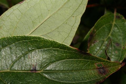 Image http://bioimages.vanderbilt.edu/lq/baskauf/wcora6-lfmargin-uplow54760.jpg