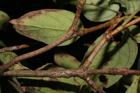 Image http://bioimages.vanderbilt.edu/lq/baskauf/wcora6-tw54750.jpg