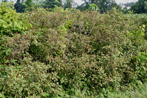 Image http://bioimages.vanderbilt.edu/gq/baskauf/gcora6-wpfencerow54740.jpg