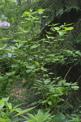 Image http://bioimages.vanderbilt.edu/lq/baskauf/wcoses-wp35318.jpg
