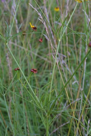 Image http://bioimages.vanderbilt.edu/lq/baskauf/wcoti3-lf13532.jpg