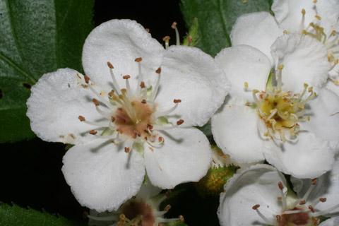 Image http://bioimages.vanderbilt.edu/lq/baskauf/wcrha2-flfront65275.jpg