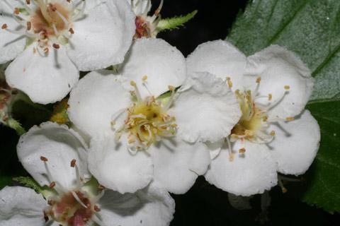 Image http://bioimages.vanderbilt.edu/lq/baskauf/wcrha2-flfront65277.jpg
