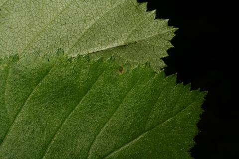 Image http://bioimages.vanderbilt.edu/lq/baskauf/wcrha2-lfmargin-uplow65100.jpg