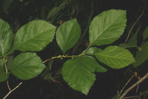 Image http://bioimages.vanderbilt.edu/lq/baskauf/wcrha2-lfseveral65117.jpg