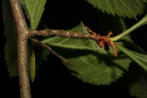 Image http://bioimages.vanderbilt.edu/lq/baskauf/wcrha2-tw65103.jpg