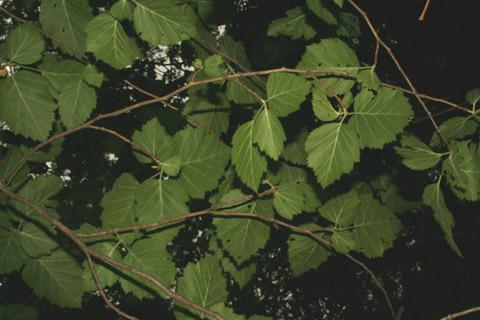 Image http://bioimages.vanderbilt.edu/lq/baskauf/wcrmo2-lfseveral-lower65322.jpg