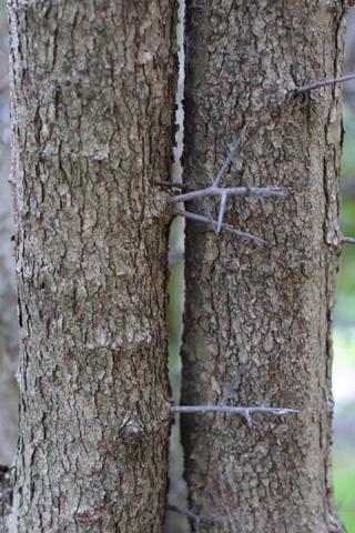 Image http://bioimages.vanderbilt.edu/lq/baskauf/wcrph--brwith-spines16142.jpg