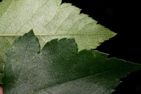 Image http://bioimages.vanderbilt.edu/lq/baskauf/wcrph--lfmargin-uplow52465.jpg
