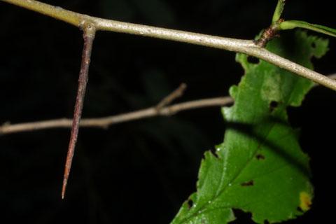 Image http://bioimages.vanderbilt.edu/lq/baskauf/wcrpu--tw38011.jpg