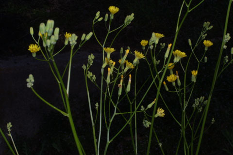 Image http://bioimages.vanderbilt.edu/lq/baskauf/wcrpu3-flinflor33347.jpg