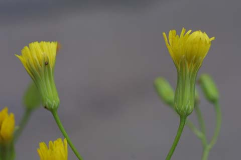 Image http://bioimages.vanderbilt.edu/lq/baskauf/wcrpu3-flside23158.jpg