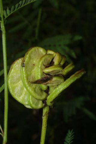 Image http://bioimages.vanderbilt.edu/lq/baskauf/wdeil--frdevel36952.jpg