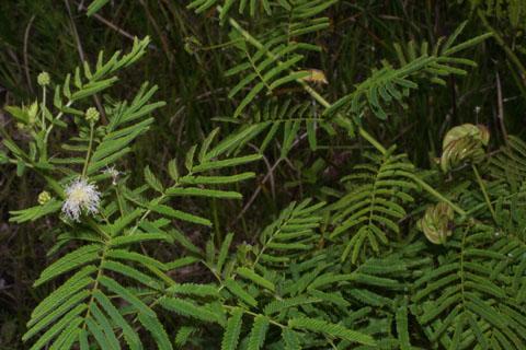 Image http://bioimages.vanderbilt.edu/lq/baskauf/wdeil--wp37014.jpg