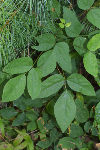 Image http://bioimages.vanderbilt.edu/lq/baskauf/wdenu4-lf28943.jpg