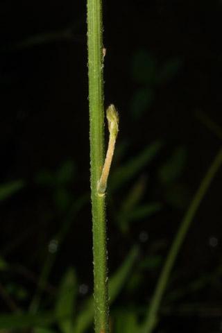 Image http://bioimages.vanderbilt.edu/lq/baskauf/wdenu4-st28941.jpg