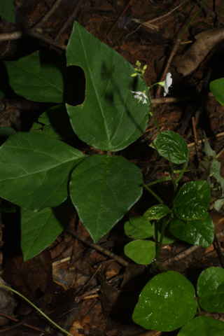 Image http://bioimages.vanderbilt.edu/lq/baskauf/wdepa7-wp35824.jpg
