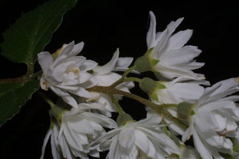 Image http://bioimages.vanderbilt.edu/lq/baskauf/wdesc4-flside34974.jpg