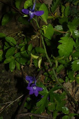 Image http://bioimages.vanderbilt.edu/lq/baskauf/wdetr--wp32895.jpg