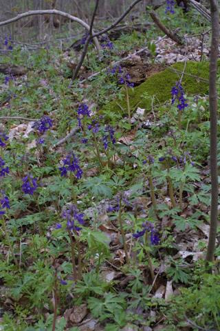 Image http://bioimages.vanderbilt.edu/lq/baskauf/wdetr--wpin-flower10454.jpg