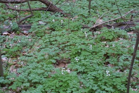 Image http://bioimages.vanderbilt.edu/lq/baskauf/wdicu--wpmass17815.jpg