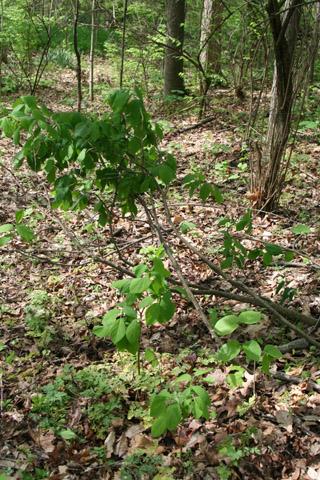 Image http://bioimages.vanderbilt.edu/lq/baskauf/wdipa9-wp65655.jpg