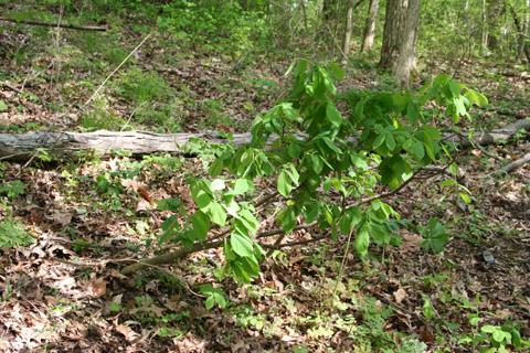 Image http://bioimages.vanderbilt.edu/lq/baskauf/wdipa9-wp65657.jpg